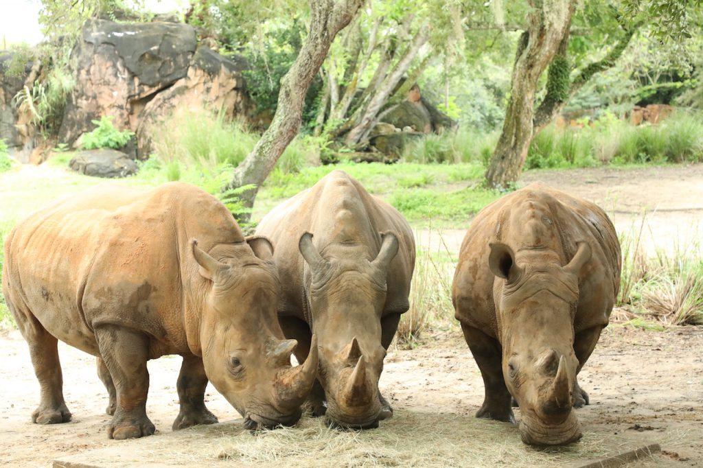 World Rhino Day Brings Big News for Disney's Animal Kingdom