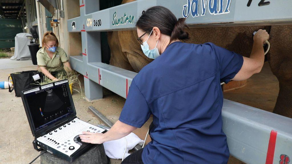 Dr. Natalie Mylniczenko giving a rhino an ultrasound at Disney's Animal Kingdom