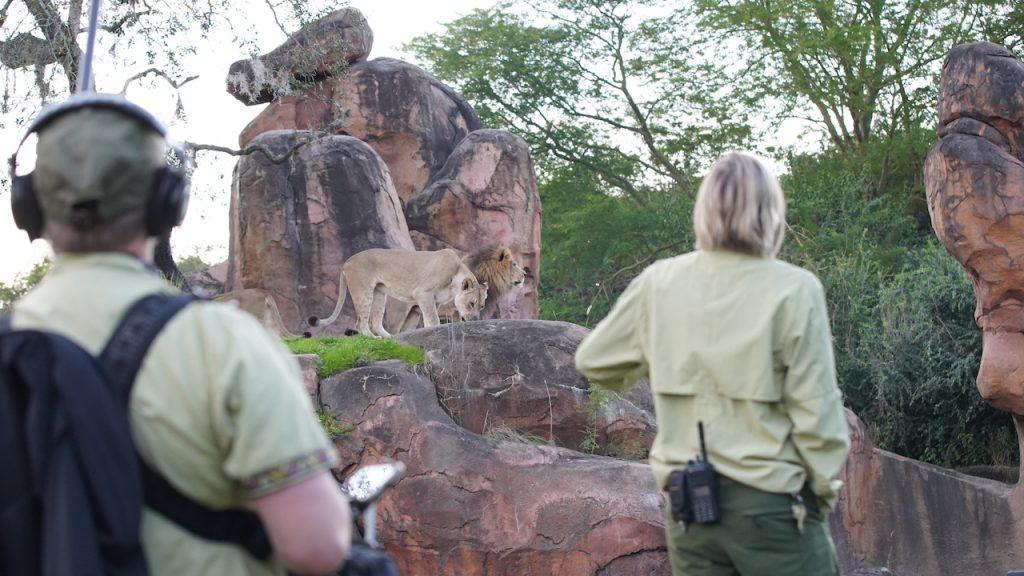 Magic of Disney's Animal Kingdom production team and keeper Lori Kurdziel observe lions Kinsey and Dakari.