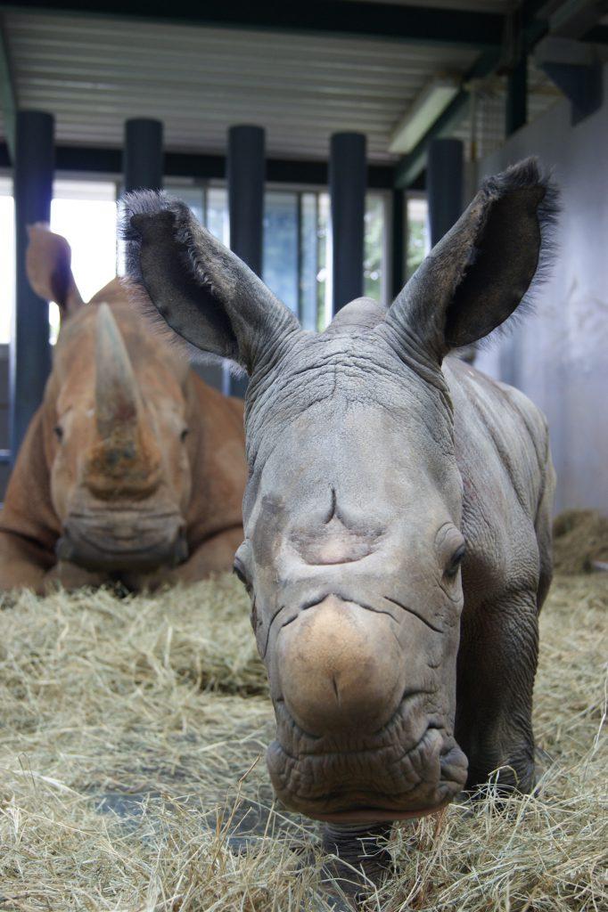 #DisneyMagicMoments: It's the Circle of Life as a Rhino Gives Birth at Disney's Animal Kingdom