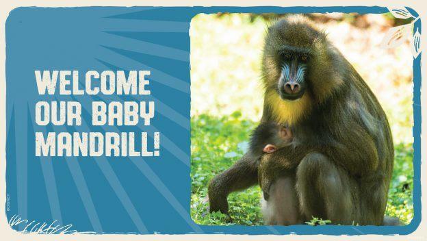 Disney's Animal Kingdom Welcomes Baby Mandrill – It's a Girl!